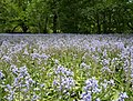 Bluebells in BBG (54532).jpg