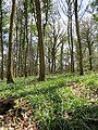 Bluebells in the Woods - April 2012 - panoramio.jpg