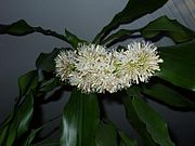 Bluete Dracaena fragrans.JPG