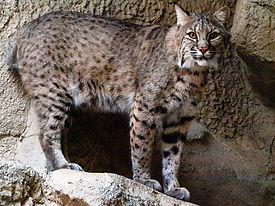 Bobcat at Fort Worth Zoo.jpg