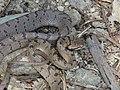 Boiga - Cat Snake IMG 0992.jpg