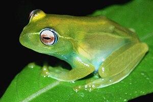 Madagaskarfrosch Boophis ankaratra