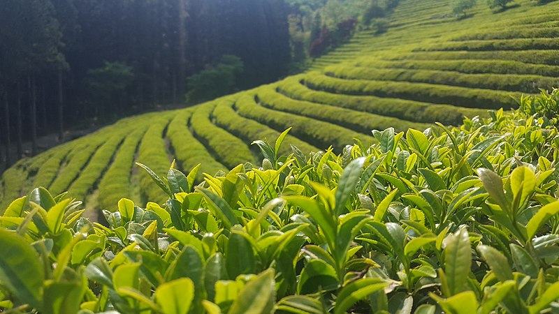 File:Boseong Green Tea Field in summer 2017.jpg