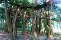 Botanical Garden, Howrah, India.jpg