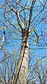 Boxelder Maple (41909428272).jpg