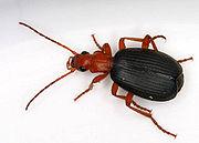 Brachinus sp., a bombardier beetle