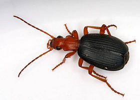 Brachinus species
