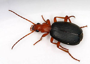 Ground beetle - A Brachinus species typical bombardier beetle (Brachininae: Brachinini) from North Carolina
