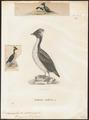 Brachyramphus wumizusuma - 1700-1880 - Print - Iconographia Zoologica - Special Collections University of Amsterdam - UBA01 IZ17800279.tif