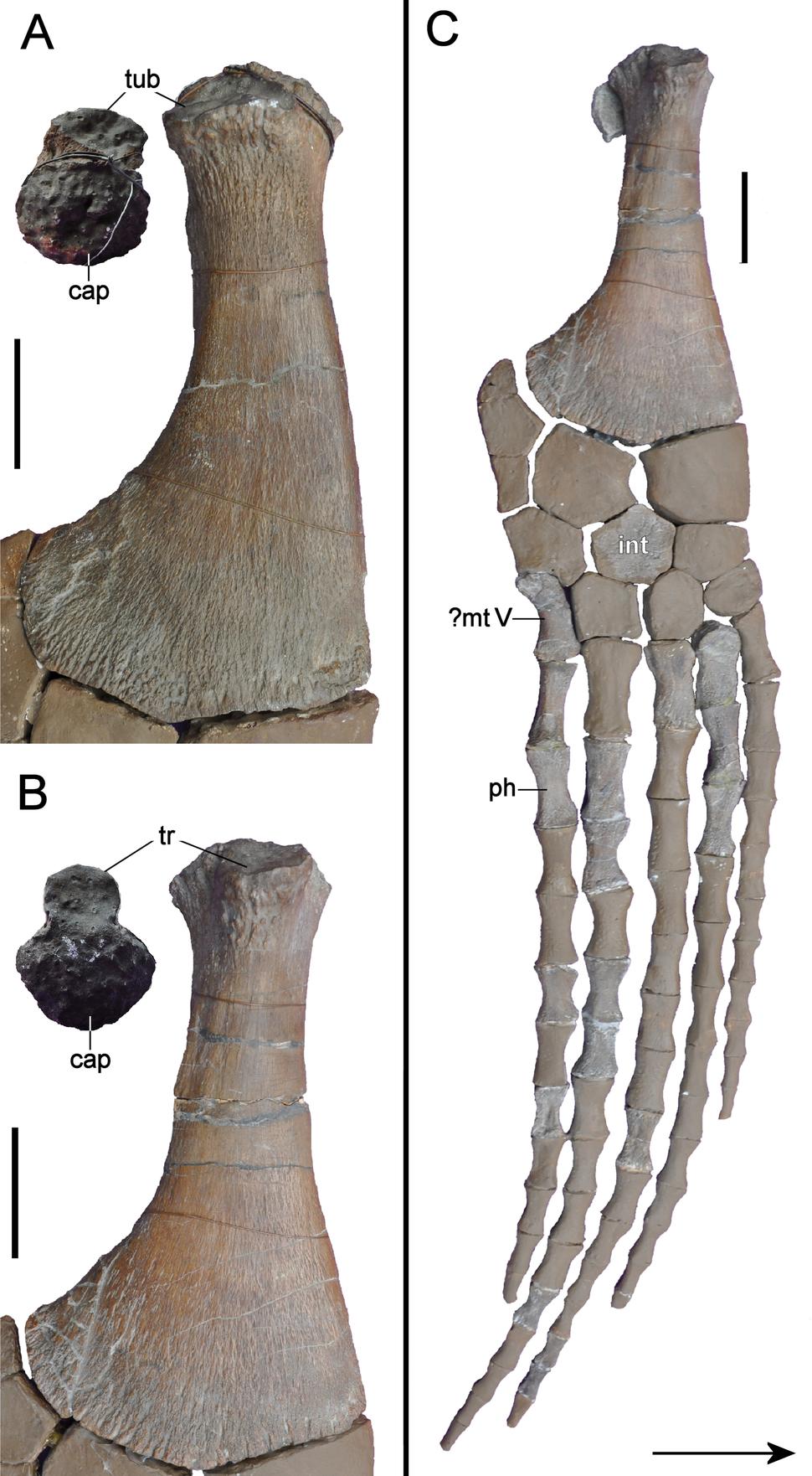 Brancasaurus limbs