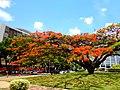 Brasilia DF Brasil - Florada do flamboyant - panoramio.jpg