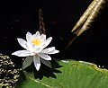 Bright Water Lily (843565089).jpg