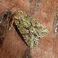 Brindled Green . Dryobotodes eremita (6930981013).jpg