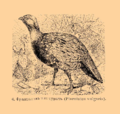 Brockhaus and Efron Encyclopedic Dictionary b33 074-0- 6 - Pernistes vulgaris.png