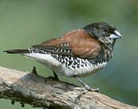 Brown-backed or Black-and-White Mannikin.jpg