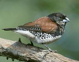Brown-backed or Black-and-White Mannikin
