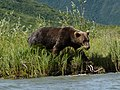 Brown Bear (20418299471).jpg