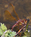 Brown Dragonfly 3 (7622692304).jpg