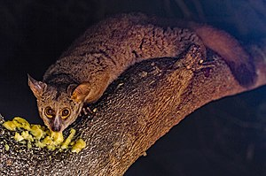 Galago - Brown greater galago (Otolemur crassicaudatus)