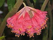 Brownea ariza1