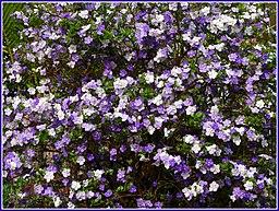 Perennial flowers the foundation of every great garden brunfelsia bonodora mightylinksfo