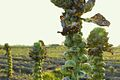 Brussels Sprouts ready for harvest.jpg