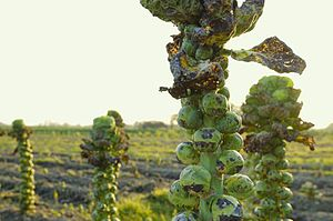 Brussels sprout - Image: Brussels Sprouts ready for harvest