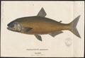 Brycon opalinus - 1700-1880 - Print - Iconographia Zoologica - Special Collections University of Amsterdam - UBA01 IZ14700059.tif