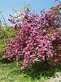 Buda Arboreta. Lower Garden, pink, 2016 Újbuda.jpg