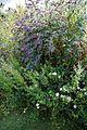 Buddleja, daisy and willowherb at Plucks Gutter Kent Kent.jpg