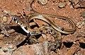 Buff-striped Keelback Amphiesma stolatum by Dr. Raju Kasambe DSCN7460 (16).jpg