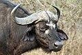Buffalo, Kruger National Park, South Africa (14987445755).jpg