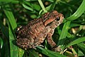 Bufo bufo on grass3.JPG
