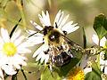 Bumblebee (8424234649).jpg