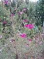 Bunga Kenikir1.jpg