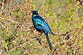 Burchell's Starling (Lamprotornis australis) (16363266107).jpg