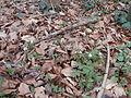 Buschwindröschen im Wald 06.JPG