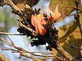 Butea monosperma- flower and buds 11.JPG