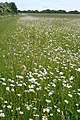 Buttercup and daisy meadow - geograph.org.uk - 849994.jpg