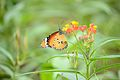 Butterfly-The Nature's Fairy.jpg