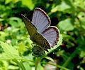 Butterfly Kerala Dark Cerulean back.jpg