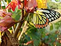Butterfly with yellow colour 01.jpg