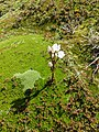 C. diemensis in buttongrass.jpg