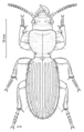 COLE Carabidae Mecodema.png