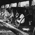 COLLECTIE TROPENMUSEUM Boeren bezig met het melken van de koeien in de stal van het Farmer Training Centre TMnr 20014524.jpg