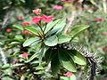 Cactaceae Xuongrong.jpg