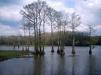 Caddo Lake - Caddo Lake during winter