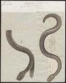 Caecilia bivittata - 1700-1880 - Print - Iconographia Zoologica - Special Collections University of Amsterdam - UBA01 IZ11400219.tif