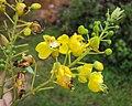 Caesalpinia sappan flowers 9.JPG