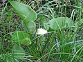 Calla palustris 7863.jpg
